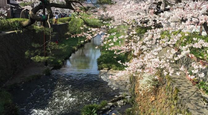 一の坂川の桜(山口市)